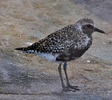Black bellied Plover (breeding male)