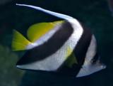 Penant Coralfish