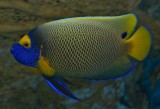 Blueface Angelfish / Pomacanthus xanthometopon
