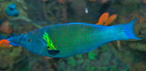 Bird Wrasse (male)
