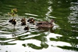 Mrs. Mallard and many offspring