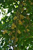 Ginko Biloba fruit