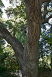 Old live Coast live oak