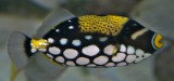 Clown triggerfish (small, young)