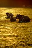 Sitting Cows