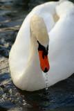 Spitting Swan