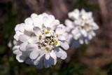 White Flower Cluster