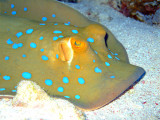 Blue Spotted Ray