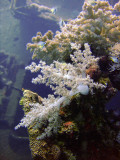Soft Coral and Little Fishies