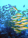 Posse of Yellow Tailed Snapper