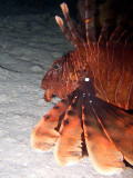 Lion Fish Hunting