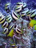 Feeding Butterfly Fish