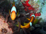 Clown Fish Pair