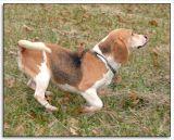 Beagles_MHF_D2X_1737_sm.jpg