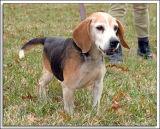 Beagles_MHF_D2X_1759_sm.jpg