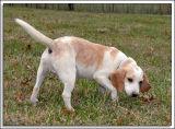 Beagles_MHF_D2X_1786_sm.jpg