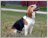 Beagles_MHF_D2X_1813_sm.jpg