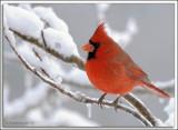 Cardinal_D2X_1859.jpg