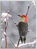 Woodpecker_D2X_1946.jpg
