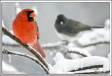 Cardinal_D2X_1865.jpg