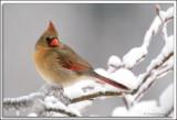 Cardinal_D2X_1870b.jpg
