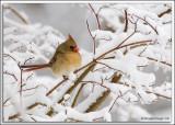 Cardinal_D2X_1880.jpg