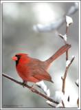 Cardinal_D2X_1983.jpg
