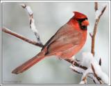 Cardinal_D2X_1979b.jpg