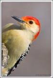 Woodpecker_D2X_1934.jpg