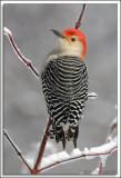 Woodpecker_D2X_1951.jpg