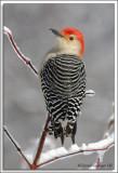 Woodpecker_D2X_1951b.jpg