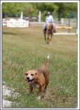 Beagles_D2C_2127.jpg