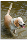 Beagles_D2C_2163.jpg