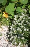 Garden Path - Alyssum & Nasturtium