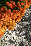 Garden Path Chrysanthemums