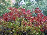 Burning Red Bush in the Rain