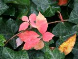 Woodbine & Dogwood Foliage in an Ivy Bed