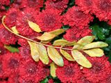 Red Chrysanthemums & Golden Locust Foliage