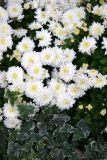 Chrysanthemums & Ivy