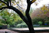 Golden Rain Tree & Bocce Ball Court