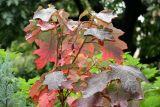 Hydragea Foliage
