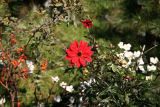Red Dahlia, Rose Hips & Anenomes