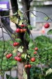 Crab Apple Fruit on the Tree