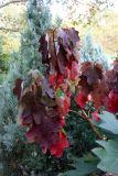 Hydrangea Foliage & Juniper Trees