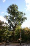 English Elm - Hang Man Tree