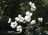 Japanese White Anenomes