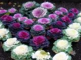 Ornamental Cabbage - NYU Athletic Center Garden