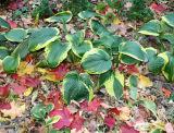 Hosta & Loose Maple Foliage