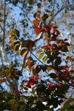 Burning Bush & Sycamore Foliage