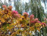 Hydrangea Bush & Willow Tree